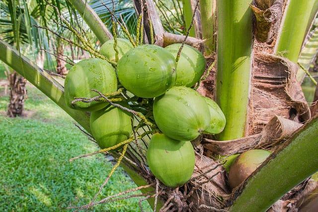 Green coconuts in palm tree. | makesauerkraut.com