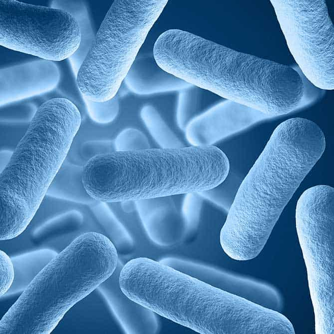 Microscopic view of lactobacillus, the bacteria necessary for fermentation.