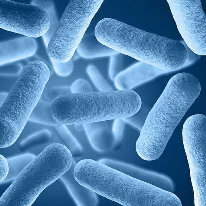 Microscopic view of lactobacillus, the bacteria necessary for fermentation.  | MakeSauerkraut.com
