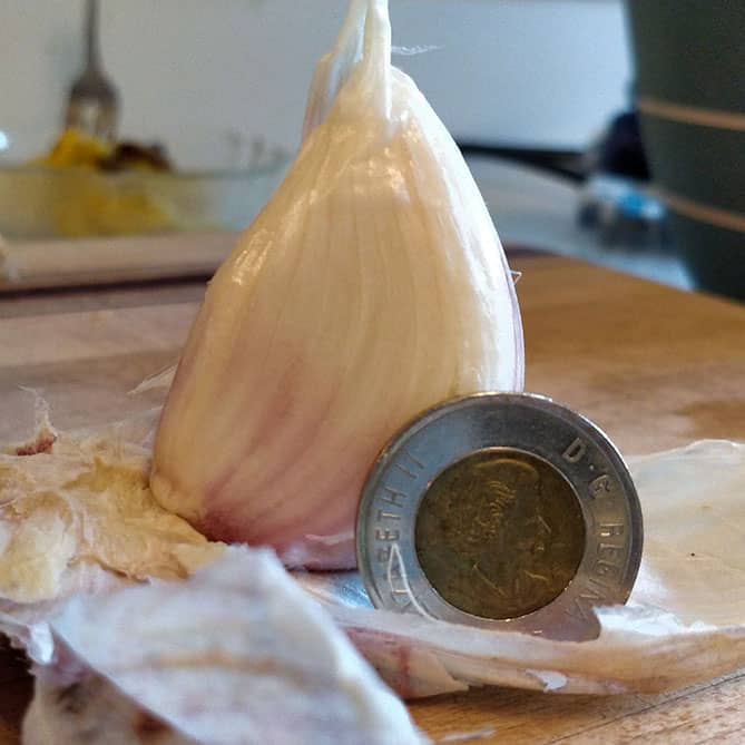 Large garlic clove next to Canadian Toonie coin to show its large size. | Makesauerkraut.com
